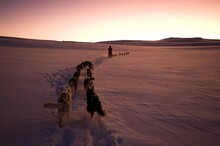 Sled Dog Team, Alaskan Huskies...