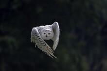 Snowy Owl (Bubo Scandiacus, Ny...