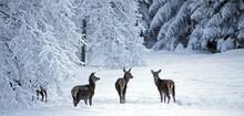 Red Deer (Cervus Elaphus), Fem...