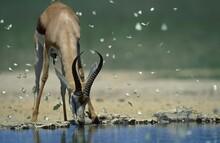 Springbok (Antidorcas Marsupia...