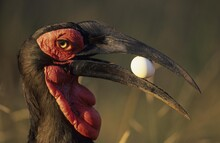 Southern Ground Hornbill (Buco...