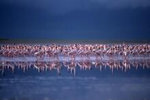 Lesser Flamingos (Phoenicopter...