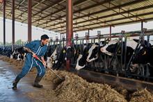 Farmer Feeding Fodder To Cows ...