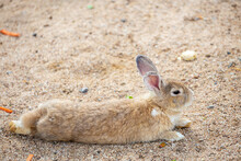 Brown Rabbit Lying On The Ground