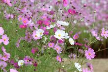 ピンク色の中に混ざって咲いた白色の秋桜