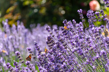 Background Of Lavender Flowers...