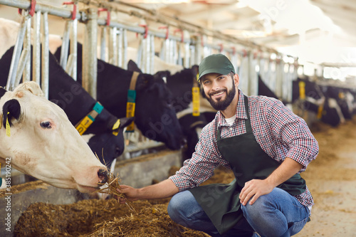 Fototapeta Portrait of a male farmer who is feeding a cow in a cowshed on a farm with straw in his hands