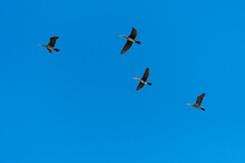 Four Cormorants Flying To The Next Lake On A Sunny Autumn Day