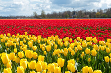 Beautiful Tulip Field And Dutc...
