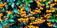 Yellow Berries Pyracantha Or C...