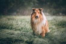 Rough Collie Dog Meadow Field