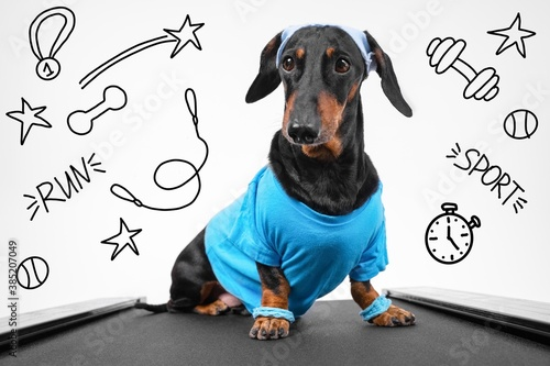 Photo Active dachshund dog in sportswear with wristbands on paws and sweat band on head sits on treadmill ready for weekly jog, front view