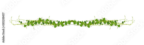 Billede på lærred Heart shaped green leaves climbing vines ivy of cowslip creeper (Telosma cordata) the creeper forest plant growing in wild isolated on white background, clipping path included