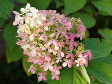 Hydrangea Paniculata Or Panicl...