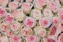 Sfondo Floreale Di Rose Rosa