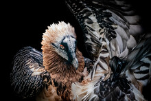 Portrait Of A Bearded Vulture