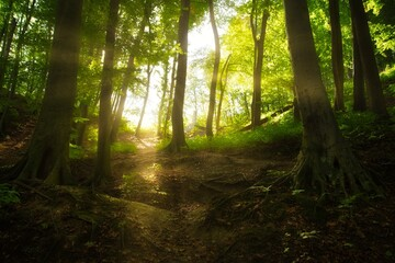 Big trees in the forest, with beautiful rays of light