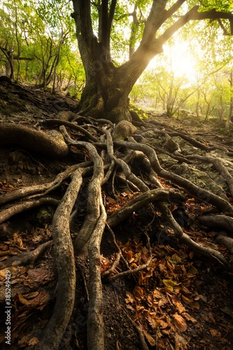 Old tree with big roots in sunny forest