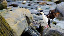 The Cormorants, Shags At Signy Island, Antarctica