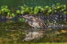 Rare Flycatcher Bathing In Wat...