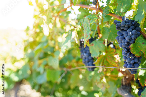 Photo Selective focus on a black grape cluster in a vineyard