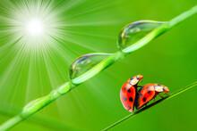 Love-making Ladybugs Couple On...