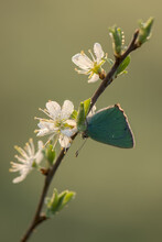 A Stunning Green Hairstreak Butterfly (Callophrys Rubi) Perched On  Flower