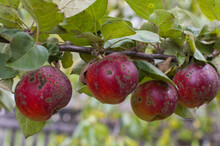 Organic Ugly Apples Growing On A Tree The Concept Of Protecting An Apple Garden From Pests Crop Of Apples Ruined By Diseases Of Fruit Trees Apple Is Affected By Fungus And Mold Bad Harvest