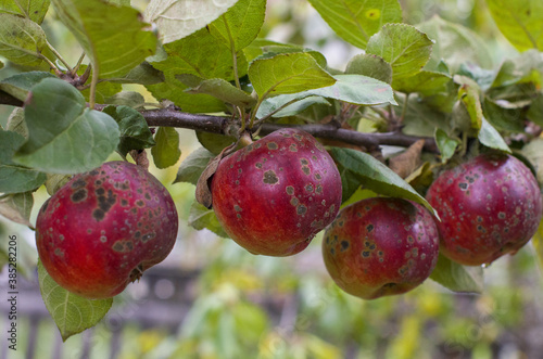 Tablou Canvas Organic ugly apples growing on a tree The concept of protecting an apple garden