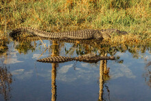 American Alligators Swimming I...