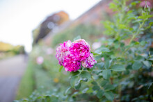Beautiful Pink Flower Surrounded By Green Leaves And With A Blurry Background