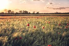 Wheat Field With Red Poppy Flowers At Sunset, Scenic Summer Landscape, Outdoor Agricultural Background