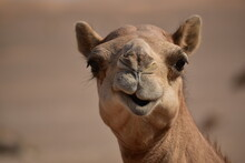 Closeup Shot Of Camel's Head.A View From Abu Dhabi Desert.