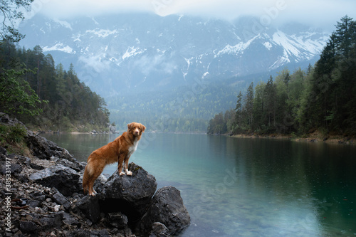 dog Nova Scotia Duck Tolling Retriever in boat. Mountain Lake Braies. boat station. Morning landscape with a pet