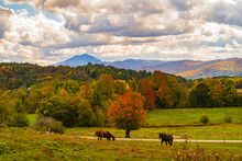 Horses  Graze On Farm Field  In Autumn Colors With Camel's Hump Mountain In The Distance