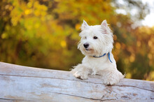 Pretty West Highland Terrier D...