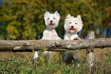 Two Dogs In The Coutryside Sta...
