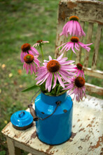 Fresh Echinacea Flowers In A Blue Vintage Can, Outdoors