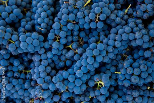 Photo Grape harvest in the vineyard
