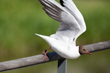 Gull Taking Off From The Railing
