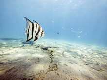 Spade Fish Swims Freely Underw...
