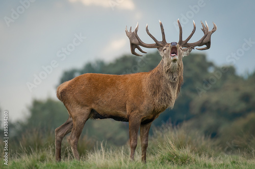 Cuadros en Lienzo A red deer stag during the rut
