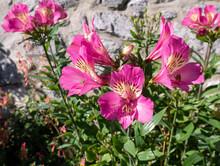 Pink Alstroemeria Or Peruvian ...