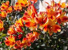 Bright Yellow-orange Alstroeme...
