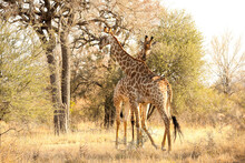 African Giraffe In A South African Wildlife Reserve