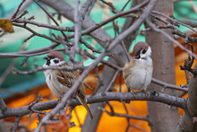 A Sparrow Sits On An Apple Tree Branch In The Autumn Sun