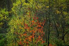 Single Aspen With Fiery Orange...