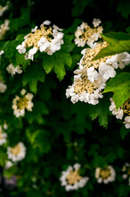 White Flowers Of Viburnum On A...