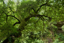 Mossy Tree In Mountain Rainforest