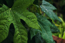 The Raindrops On The Chaya Leaves